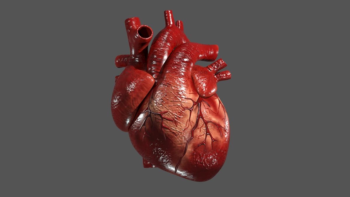 heart human